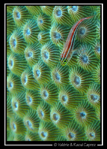 Green carpet for a red fish (Helcogramma striatum) by Raoul Caprez 